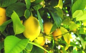 lemonspreserved1